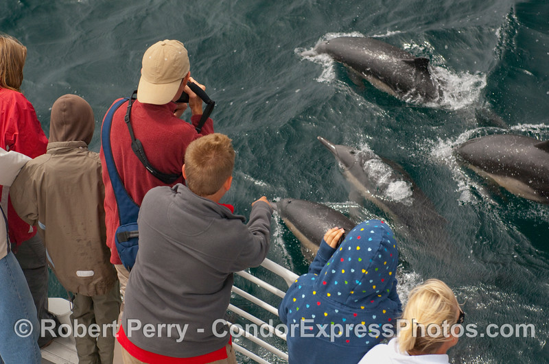 Common Dolphins (Delphinus capensis) make a close approach to the whalers on the Condor Express.
