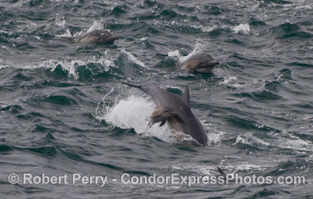 Common Dolphins (Delphinus capensis)...again we see the tiny baby dolphin leaping next to mom.