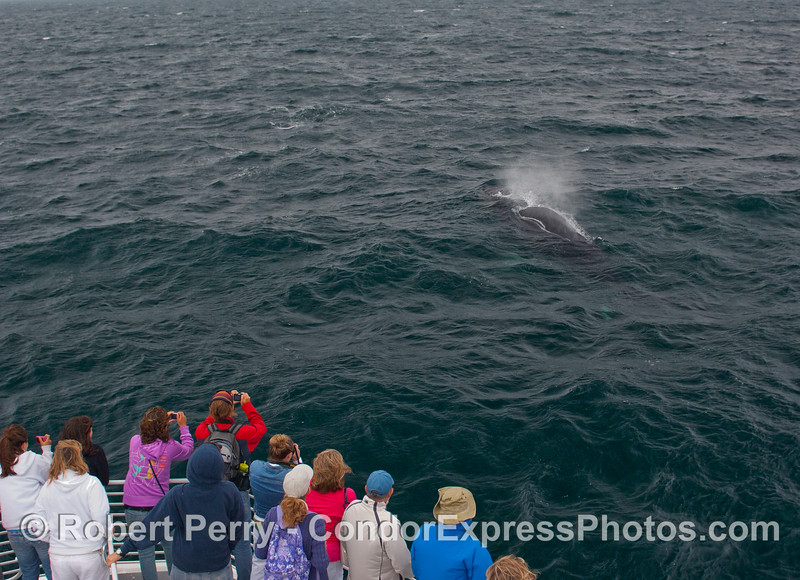 A Humpback Whale (Megaptera novaengliae) passes closely by the whalers on the Condor Express.