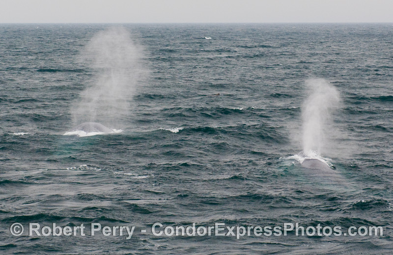 Two distant blasts as Blue Whales (Balaenoptera musculus) spout in the wind.