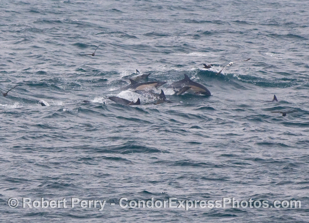Common Dolphins (Delphinus capensis) moving across the swells.  Look closer and you will see a mother with her very tiny calf leaping.