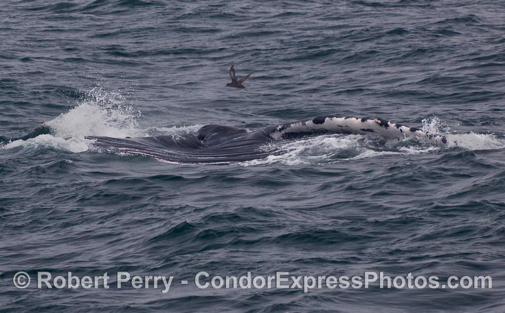Three of four Humpback Whale (Megaptera novaeangliae) lunge feeding shots.