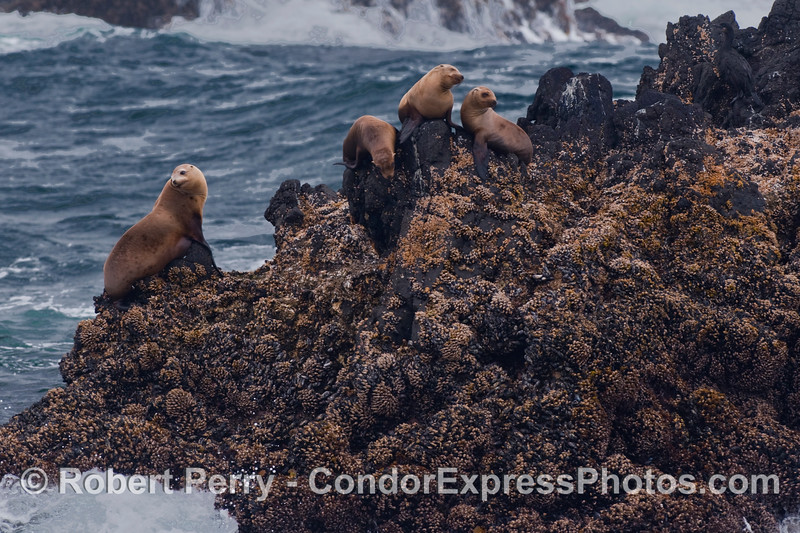 California Sea Lions (Zalophus californianus)  on a rocky outcropping.