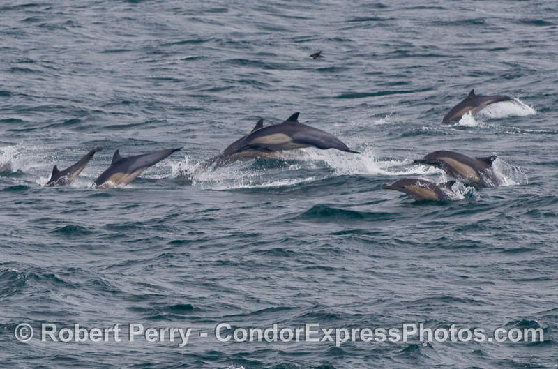 Common Dolphins (Delphinus capensis) on the move across the swells.