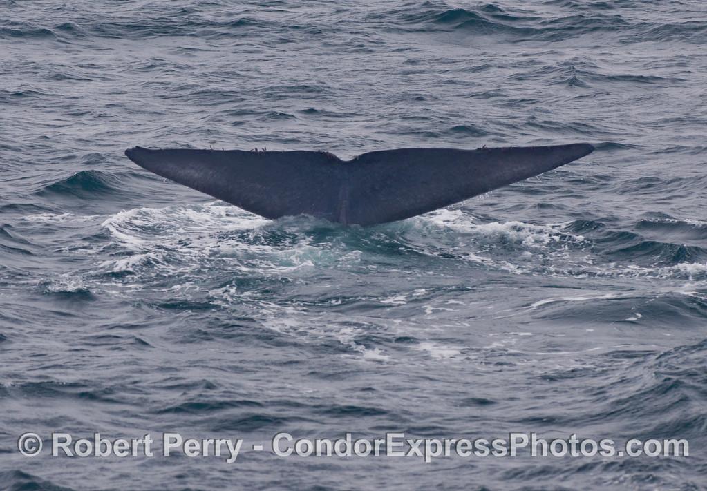 Blue Whale (Balaenoptera musculus) tail fluke.