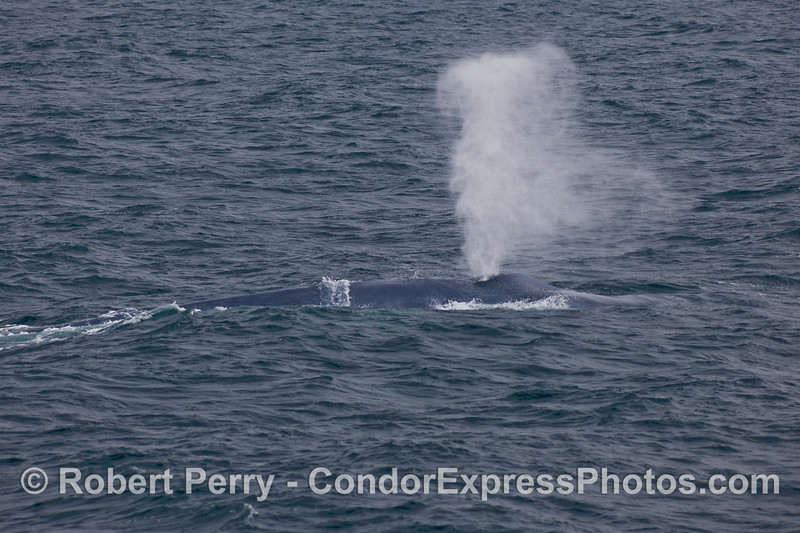 Blue Whale (Balaenoptera musculus) spout.