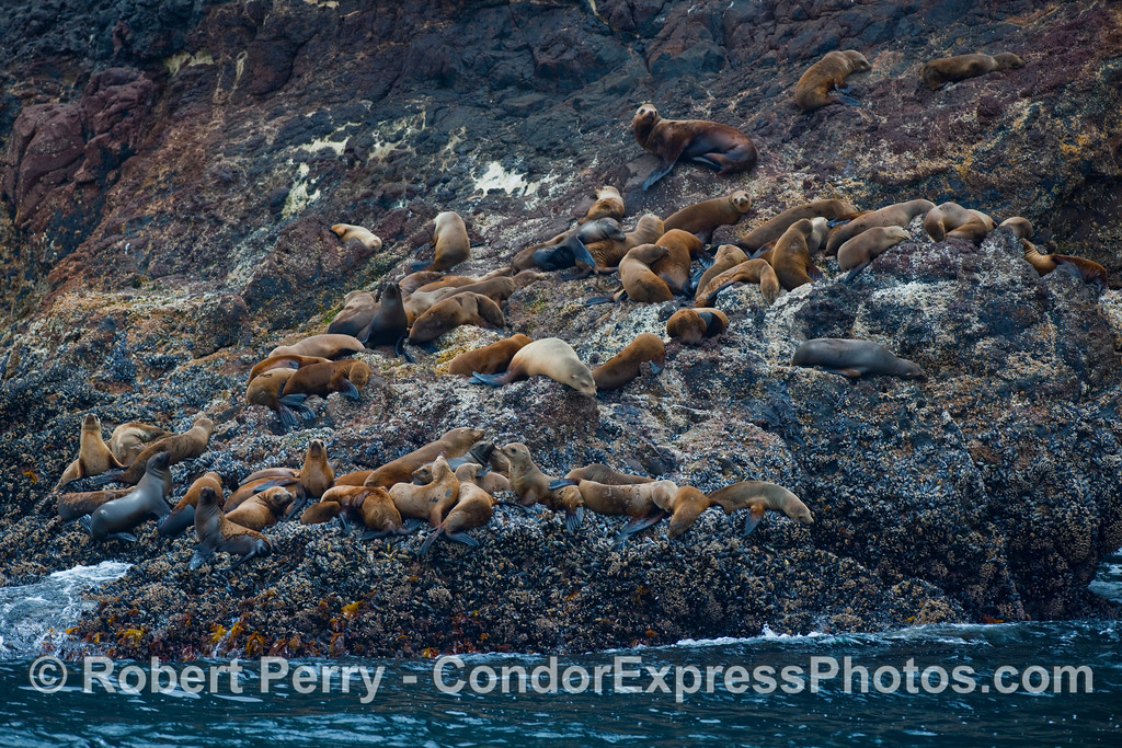A hauling grounds for California Sea Lions (Zalophus californianus) on the rocks of Santa Cruz Island.