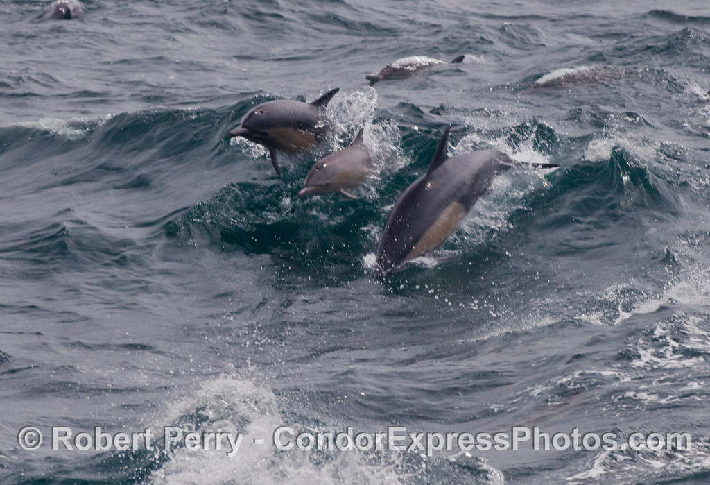 Three Common Dolphins (Delphinus capensis) burst out of a wave.