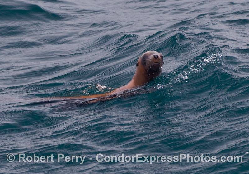 A curious California Sea Lion (Zalophus californianus).