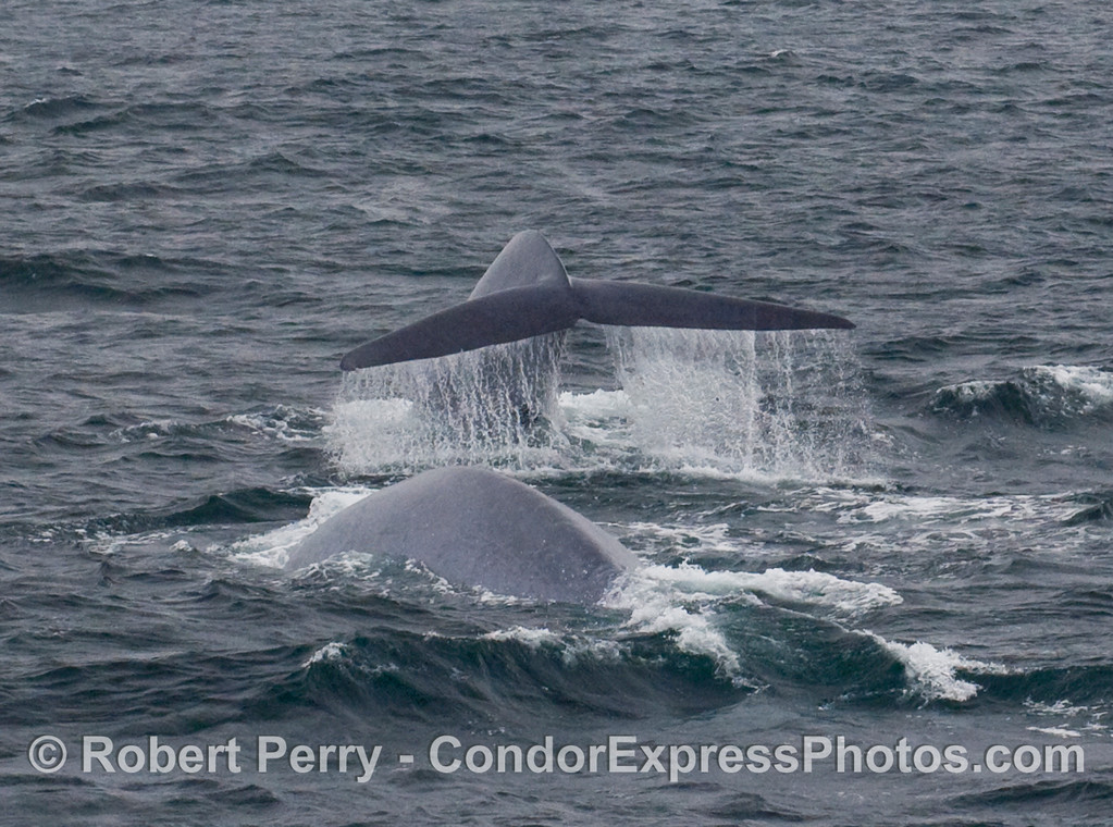 Two oceanic giants: Blue Whales (Balaenoptera musculus) - one throwing a nice tail fluke waterfall.