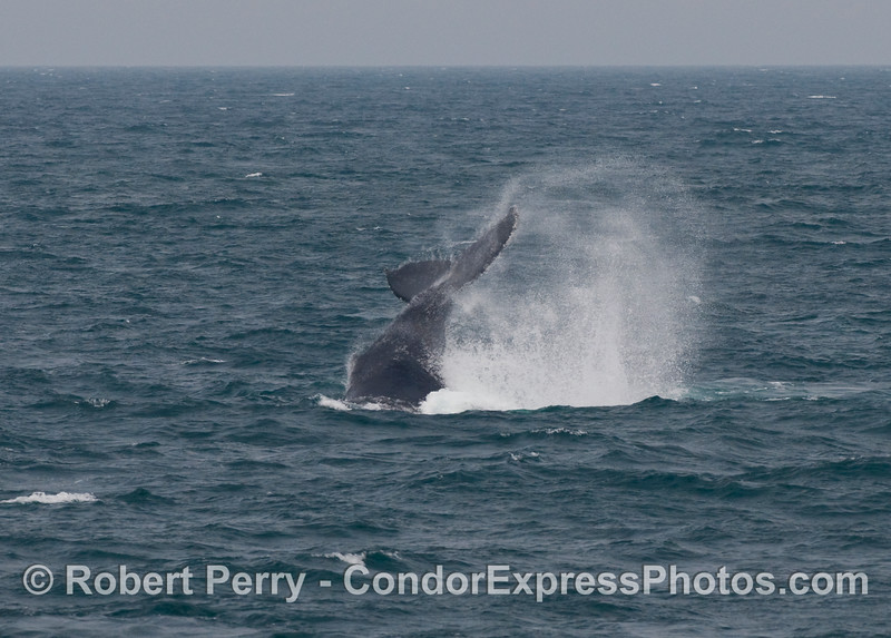 A Humpback Whale (Megaptera novaeangliae) lobs or throws its tail, smashing the ocean surface in wild abandonment.
