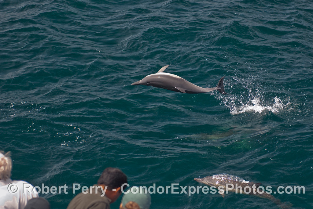 A feisty Common Dolphin (Delphinus sp.) shows off for the whalers on the bow of the Condor Express.