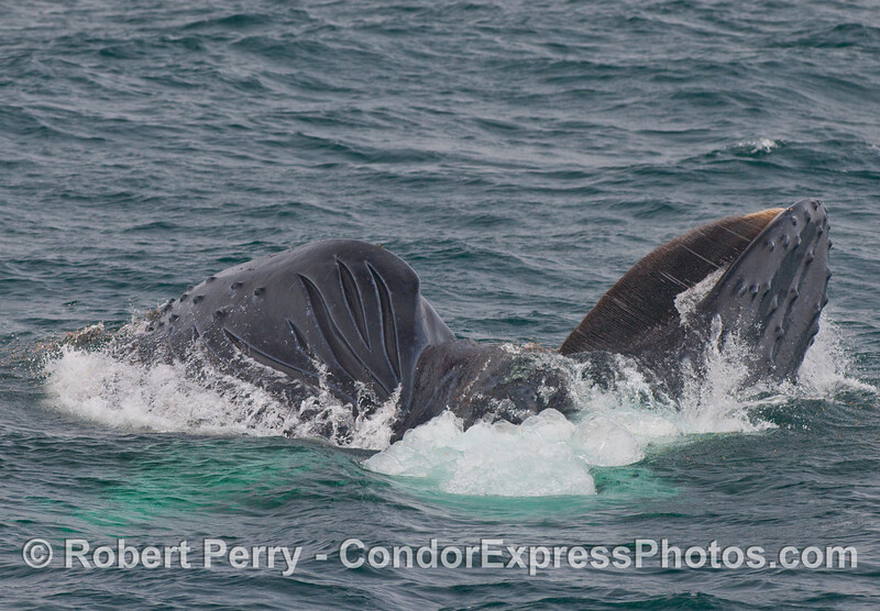 Image 3 of 3 -  a Humpback Whale (Megaptera novaeangliae) lunges and rolls on its right side to feed.