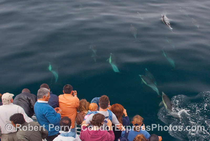 Turquoise torpedos and whalers on board the Condor Express...Common Dolphins (Delphinus sp.).