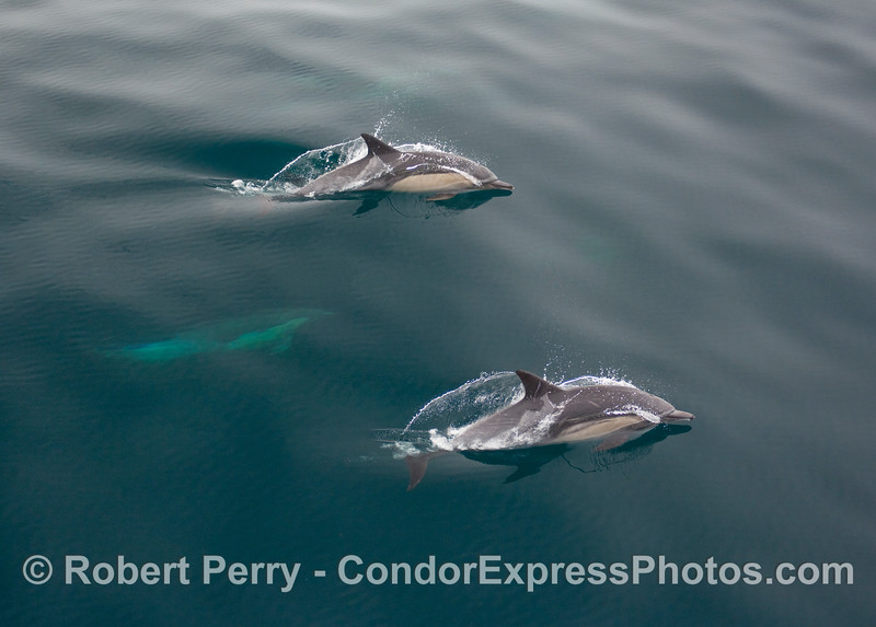 Twice as much fin - two Common Dolphins (Delphinus sp) streak across the glassy surface.