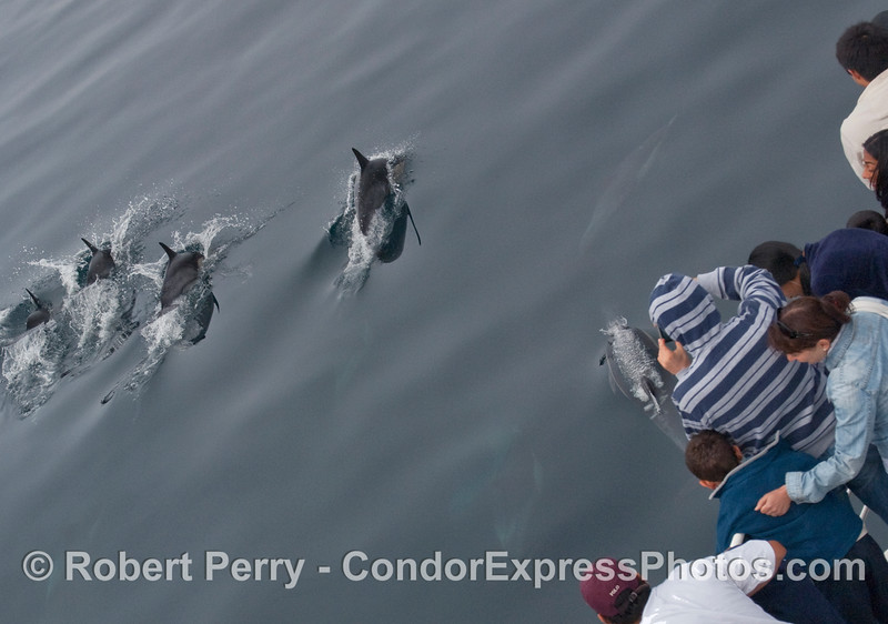 More up close looks at some Common Dolphins (Delphinus sp.) by the whalers on board the Condor Express.