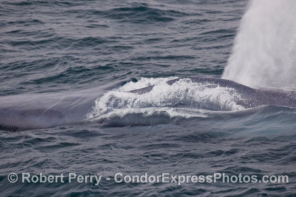 A Blue Whale (Balaenoptera musculus) spouts and emits water from its mouth.  (Head is to the left).