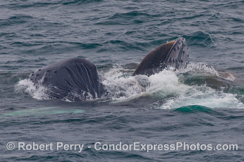 Image 2 of 3 -  a Humpback Whale (Megaptera novaeangliae) lunges and rolls on its right side to feed.