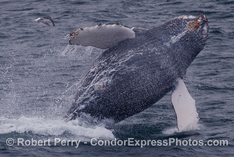 Young Humpback Whale (Megaptera novaeangliae) breaches near the Condor Express.