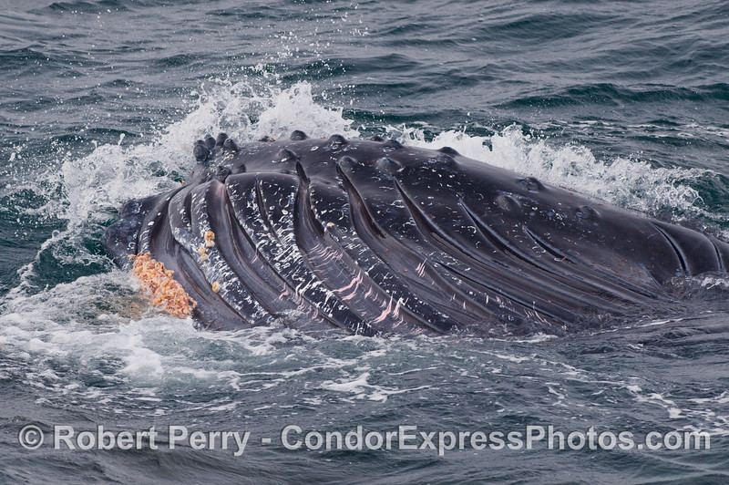 Belly of a Humpback Whale (Megaptera novaeangliae) lung feeding.
