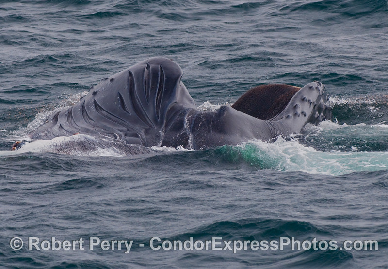 Amorphous mass of blubbler and skin...Image 1 of 3 -  a Humpback Whale (Megaptera novaeangliae) lunges and rolls on its right side to feed.