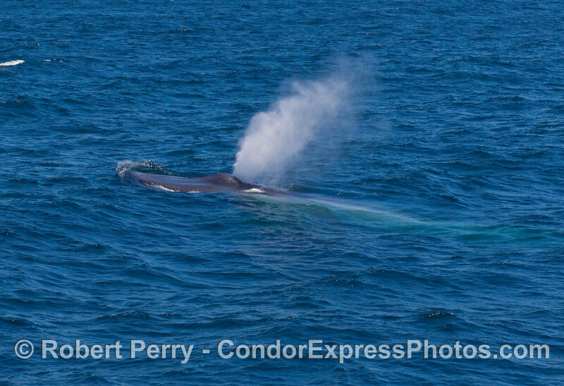 A Blue Whale (Balaenoptera musculus) heads into the breeze.