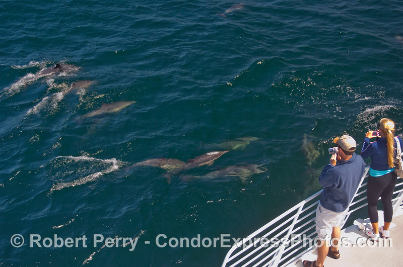 Whalers on board the Condor Express enjoy the marauding band of Common Dolphins (Delphinus capensis).