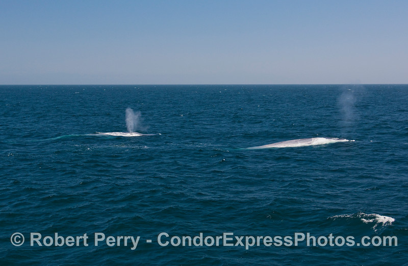 Two giants spouting on a blue ocean - Blue Whales (Balaenoptera musculus).