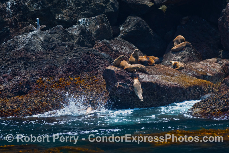 A cluster of California Sea Lions (Zalophus californianus) all on the rocky ledges of Santa Cruz Island, except the one leaping into the ocean.