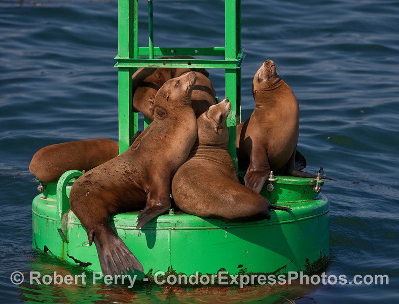Basking in the morning sun - California Sea Lions (Zalophus californianus) rest on the Santa Barbara Harbor entrance buoy.