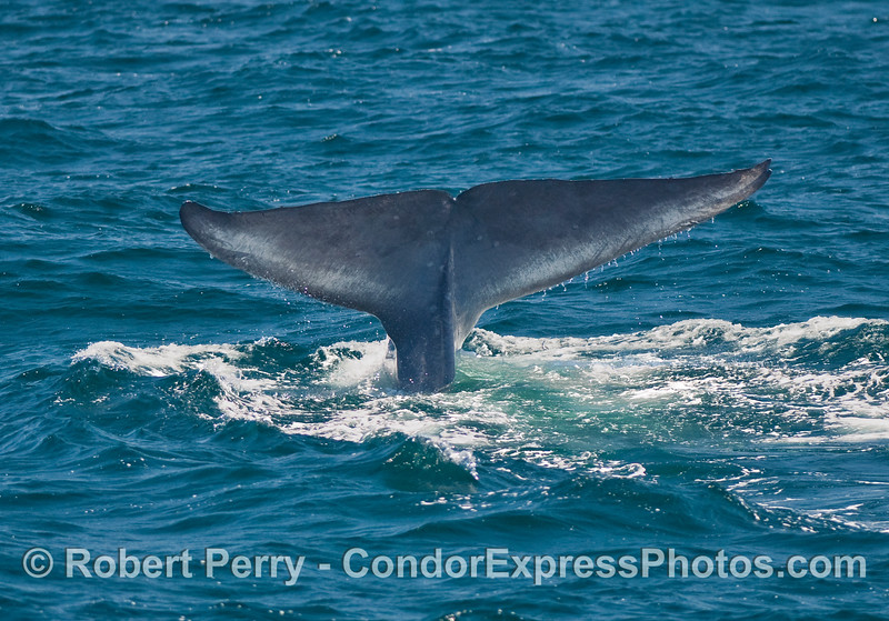 Tail fluke - symbol of the giant Blue Whale (Balaenoptera musculus).