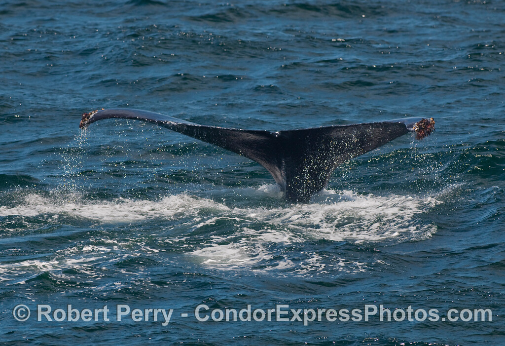 Tail flukes waterfall - Humpback Whale (Megaptera novaeangliae).
