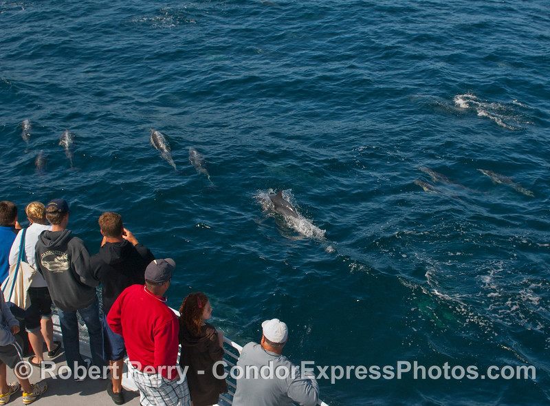 Common Dolphins (Delphinus capensis) and whalers on the Condor Express.