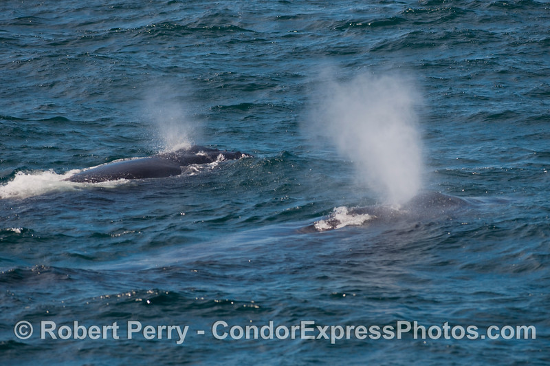 Two Humpback Whale (Megaptera novaeangliae) spouts, side by side.