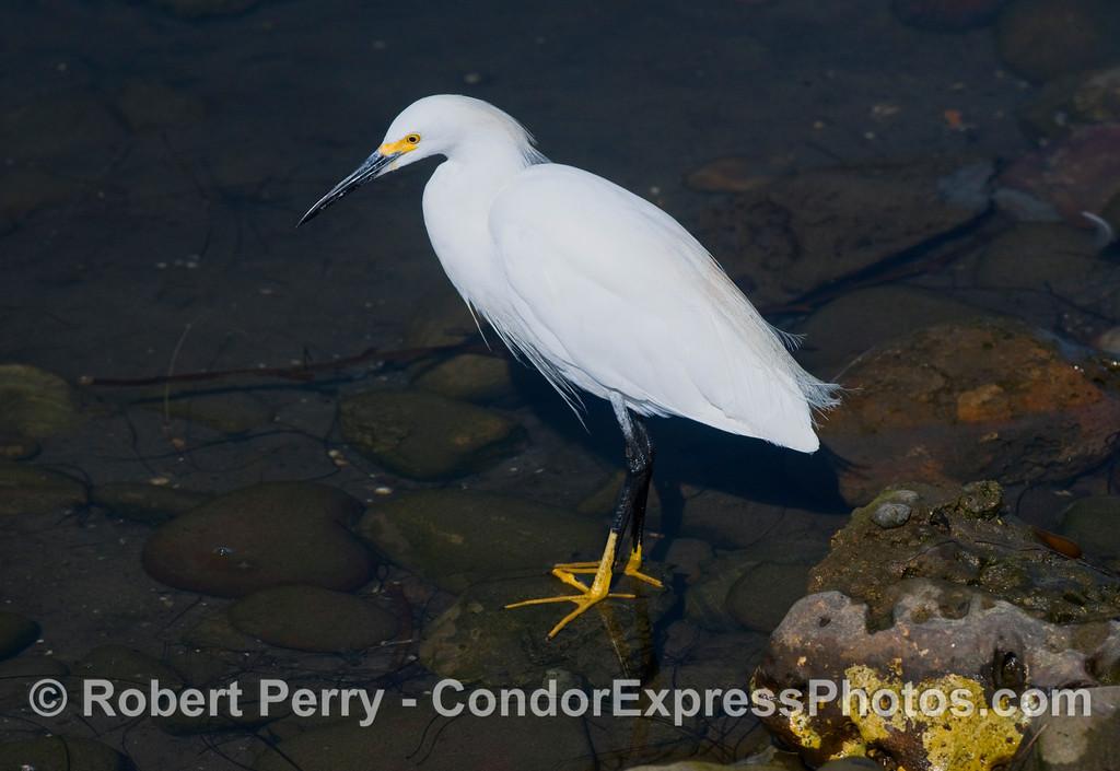 Snowy Egret (Egretta thula) hunting along the rocky shores of Santa Barbara Harbor.