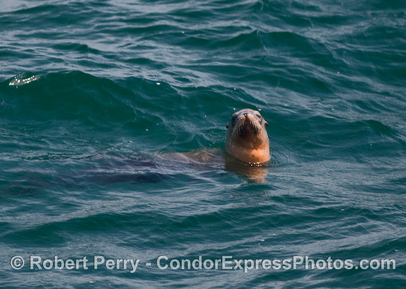 A well moustached California Sea Lion (Zalophus californianus) lounges on the surface near the Condor Express.