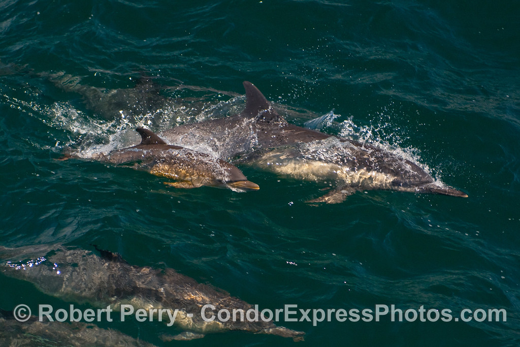 Mother Common Dolphin (Delphinus capensis) and her calf...close up look.