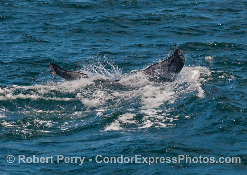 Final look at the tail flukes of a Humpback Whale (Megaptera novaeangliae) as it heads for deeper waters.