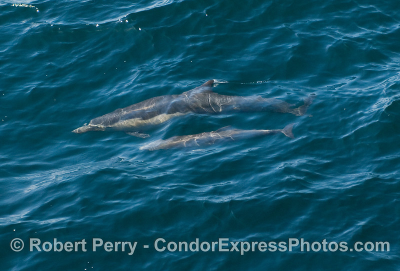 A mother and her calf as seen underwater - Common Dolphins (Delphinus capensis).