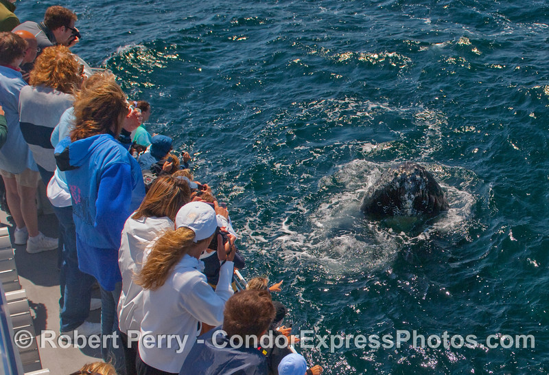 Whalers aboard the Condor Express experience a very friendly Humpback Whale (Megaptera novaeangliae).  It makes you wonder who is watching whom.
