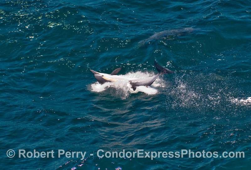 A very frisky Common Dolphin (Delphinus capensis) lands a side-ways belly flop after being airborn.