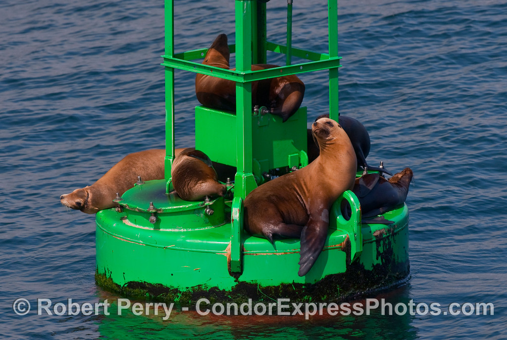 California Sea Lions (Zalophus californianus) resting on the Santa Barbara Harbor entrance buoy.   Notice the sea lion on the left has quite a scar from monofiliment entanglement...ouch.