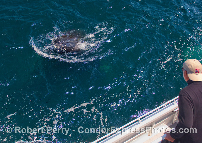 Friendly Humpback Whale (Megaptera novaeangliae) visits whaler on the Condor Express.