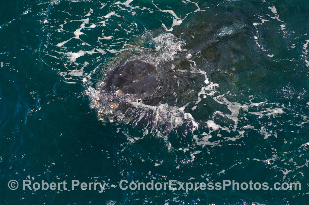 Close approach head shot - Humpback Whale (Megaptera novaeangliae)...wide angle; next image is an enlargement of this.