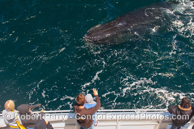 Waving at the Humpback Whale (Megaptera novaeangliae) - a young whaler gets his first close look at an ocean giant.