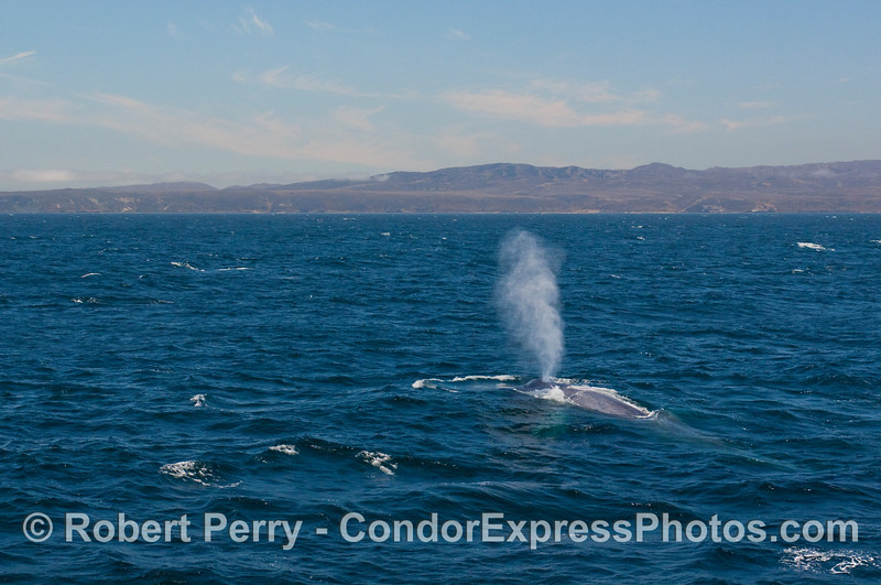 The mighty blow of a giant Blue Whale (Balaenoptera musculus) with Santa Rosa Island in back.