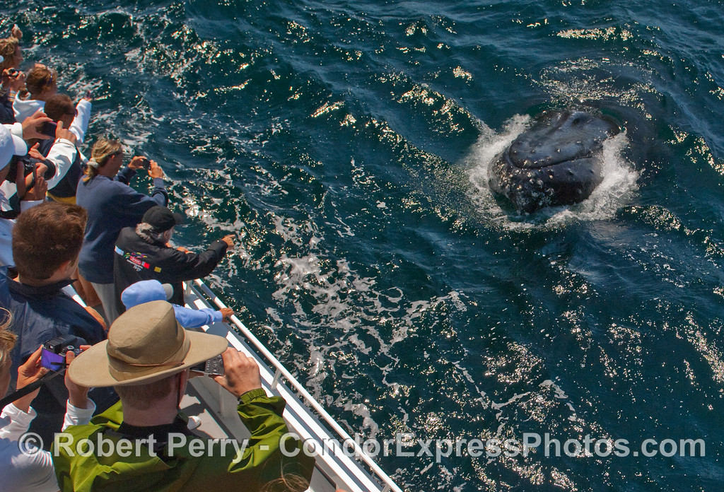 Friendly Humpback Whale (Megaptera novaeangliae) takes a look at the Condor Express whalers.