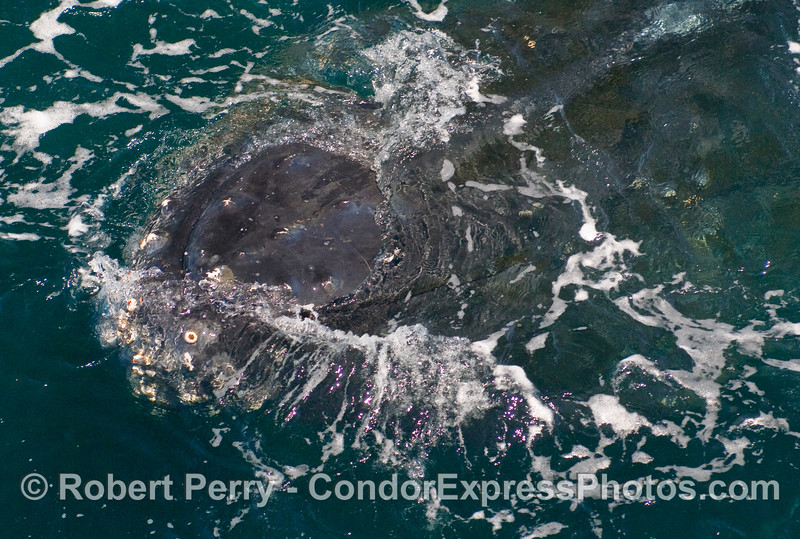 Close approach head shot - Humpback Whale (Megaptera novaeangliae)...enlargement of the previous image.