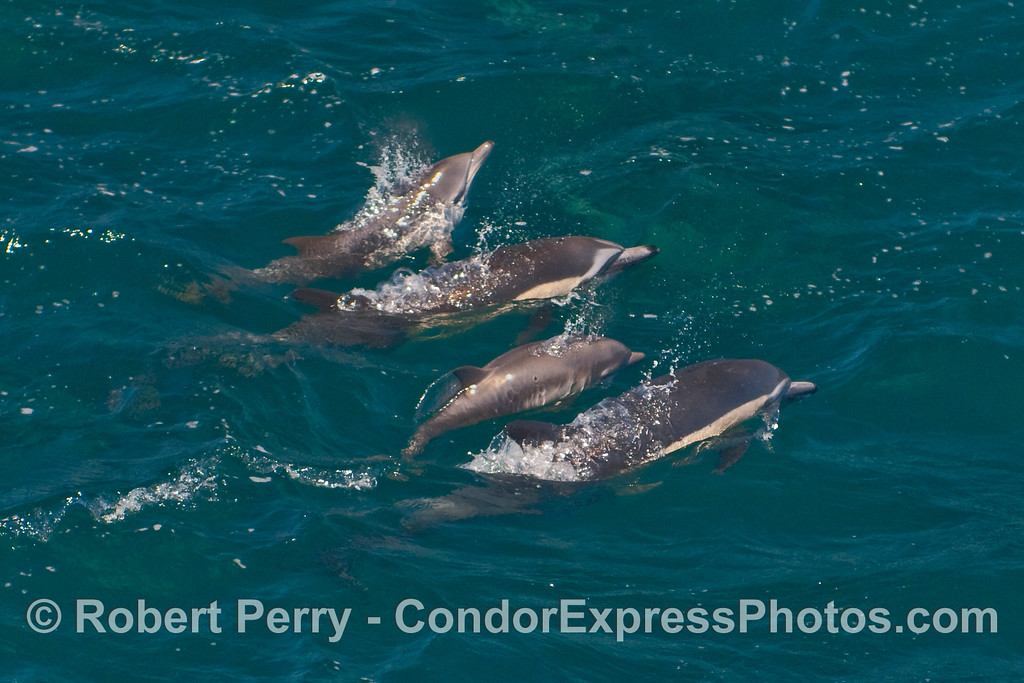 Four Long-Beaked Common Dolphins (Delphinus capensis) including one small calf.