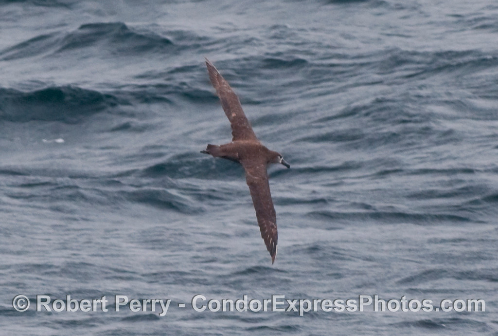 Black-Footed Albatross (Phoebastria nigripes) soaring.